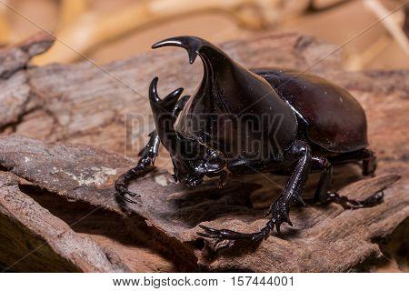 Rhinoceros Beetle, Rhino Beetle, Hercules Beetle, Unicorn Beetle, Horn Beetle