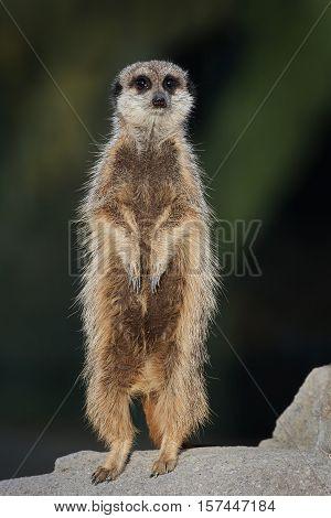 Meerkat standing on a rock in its habitat