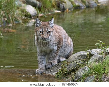 Juvenile eurasian lynx resting on a rock with water and vegetation in the background