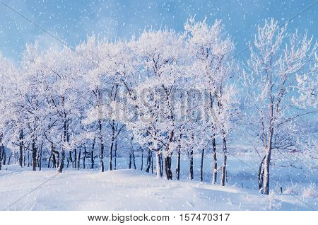 Winter landscape with falling snowflakes- winter landscape of winter snowfall and sunlight over winter grove. Winter landscape in the winter forest-winter landscape with Christmas and New Year mood