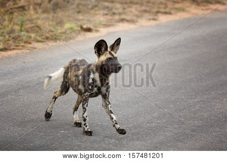African wild dog or African Painted dog, side view, Kruger National Park