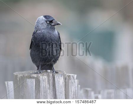 Western Jackdaw On A Garden Fence