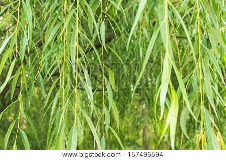 Long hanging branches of weeping willow in soft focus