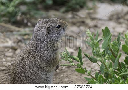 Ground squirrel standing on it's hind feet and looking around with a green bush.Yellowstone National Park