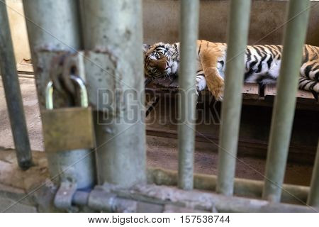 Tiger In Cage