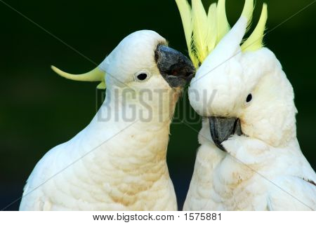 Cockatoos In Love