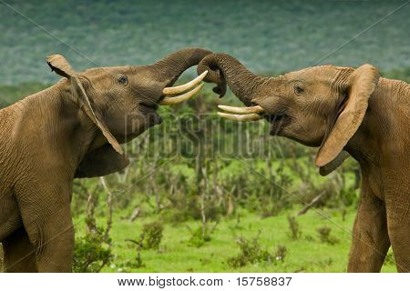 Two Male Elephants Fighting