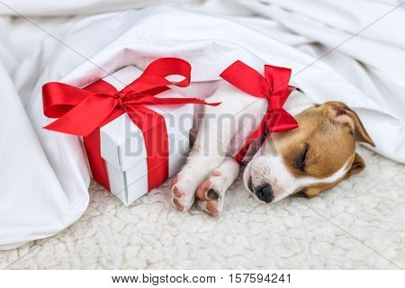 jack russel puppy with giftbox