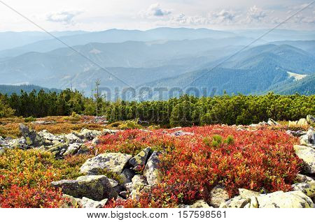The Carpathian mountains. Red bilberry bushes among stones and creeping pine on the hill