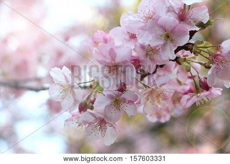 Sakura flower under the sun light .