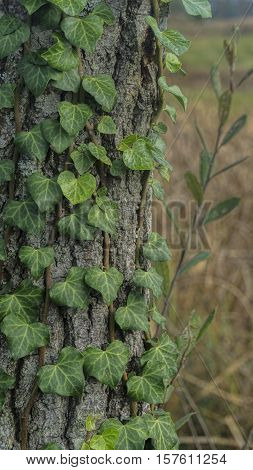 Macro From Ivy On A Tree In Autunm