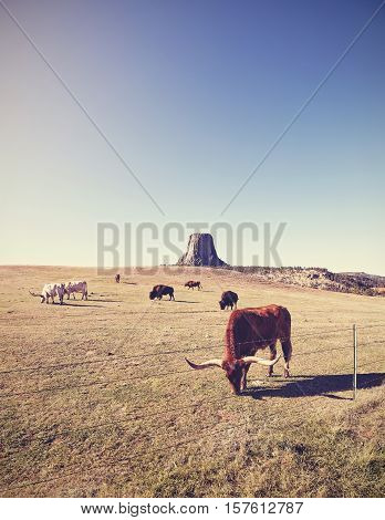 Cows And Bison With Devils Tower In Distance, Usa.