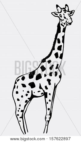 Hand-drawn pencil graphics, giraffe. Engraving, stencil style. Black and white logo, sign, emblem, symbol. Stamp, seal. Simple illustration. Sketch.