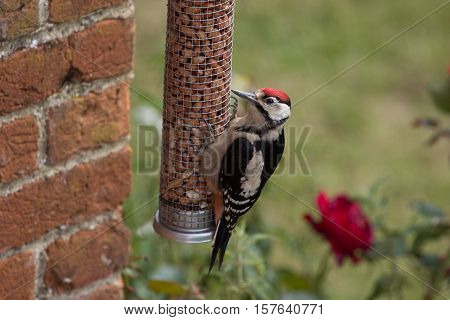 Greater Spotted Woodpecker (Dendrocopos Major) on nut feeder