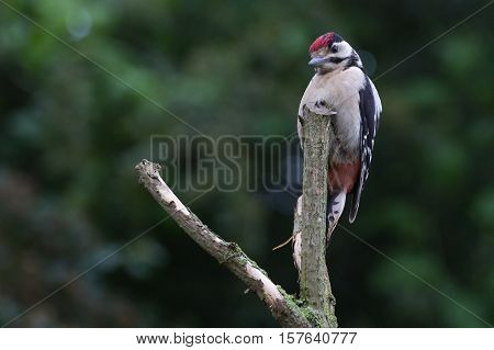 Greater Spotted Woodpecker (Dendrocopos Major) on perch
