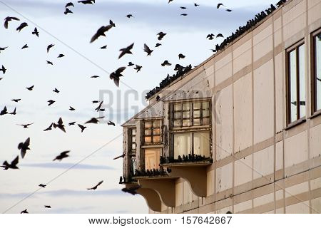 A flock of Starlings gathering to rest on the roof of a building