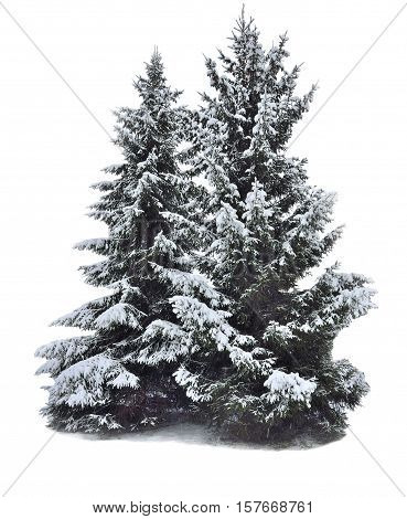 Two magnificent snow-covered fir-trees isolated on a white background