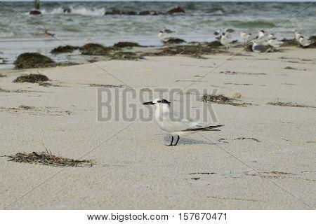 Gull shore bird on the beach in Florida