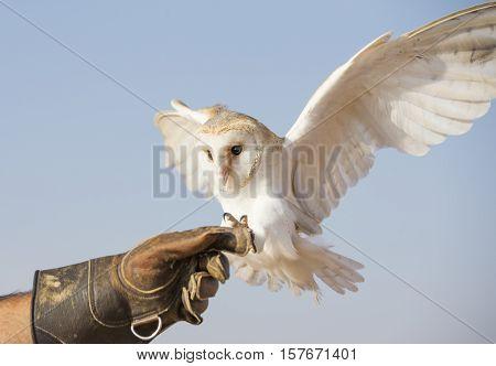 Barn Owl (Tyto alba) in a desert near Dubai United Arab Emirates