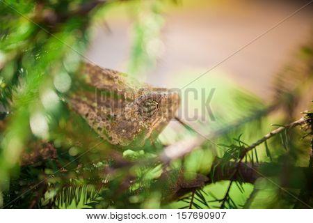 Veiled Yemeni Chameleon Is Walking On A Tree Branch.