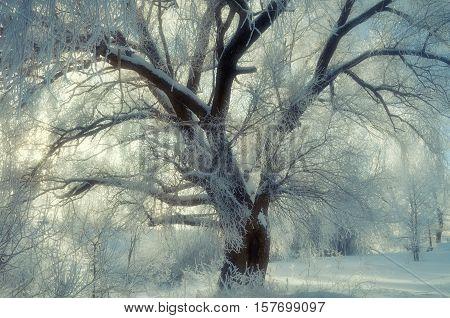 Winter landscape - spreading winter tree in sunset. Winter scene - wonderland frosty tree in cold winter weather in winter forest. Winter forest in the sunshine. Winter landscape of winter nature