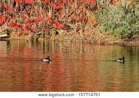 Ring-Necked Ducks Resting on an Autumn Pond