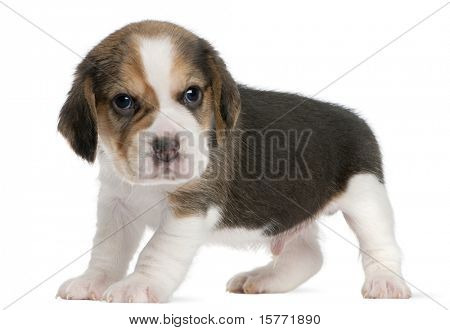 Beagle Puppy, 1 month old, standing in front of white background