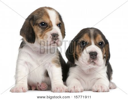 Two Beagle Puppies, 1 month old, in front of white background