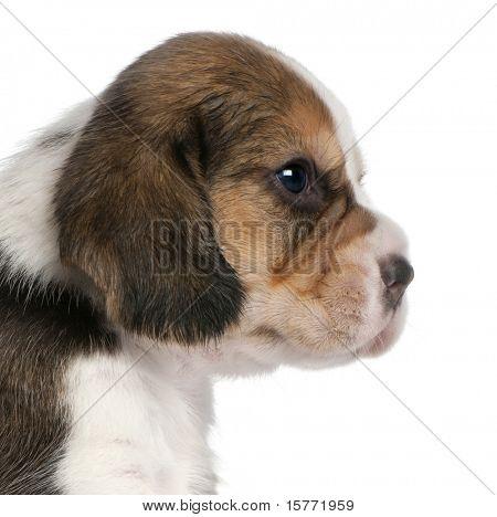 Primer plano de cachorro de Beagle, 1 meses de edad, frente a fondo blanco