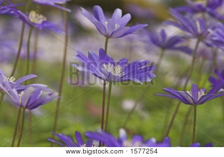 Group of 4 pale blue wood anemone