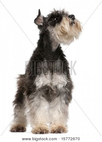 Miniature Schnauzer, 6 years old, looking up in front of white background