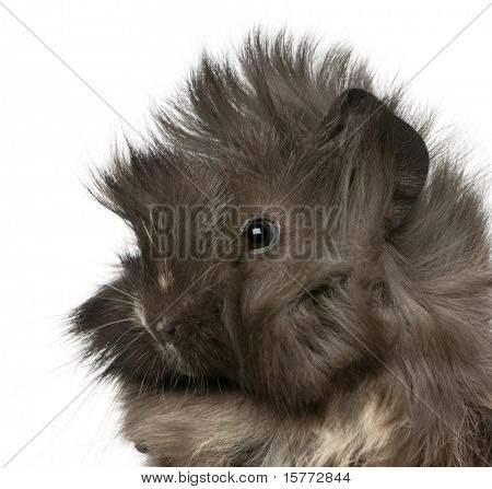 Close-up of young Peruvian guinea pig, 2 months old, in front of white background