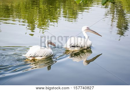 A pair of Great white pelican or Dalmatian pelican (Pelecanus onocrotalus) floating on the water on a pond. Two large waterfowl birds