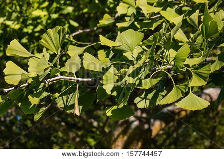 closeup of ginkgo biloba tree with fresh leaves in springtime