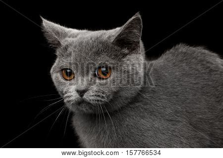 Close-up Portrait of offended Gray British Kitten, funny Looking, on Isolated black background