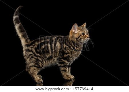 Pedigree Tabby Scottish Kitten, Standing at side and Looking up Curious on Isolated black background with reflection