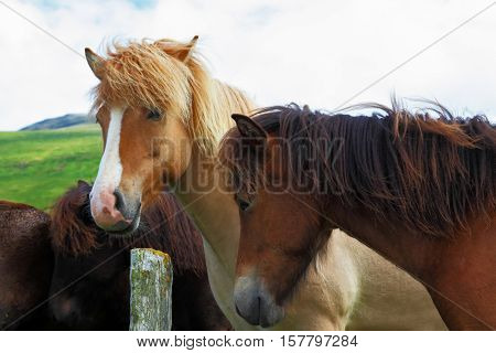 Herd of Icelandic horses magnificent. Well-groomed buckskin and bay horses graze and play with each other in a meadow near the farm