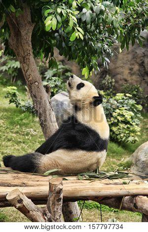 Big panda in zoo Hong Kong, Hong Kong