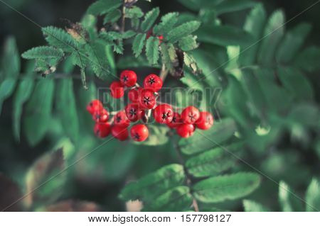 Rowan berries on a tree branch in autumn forest