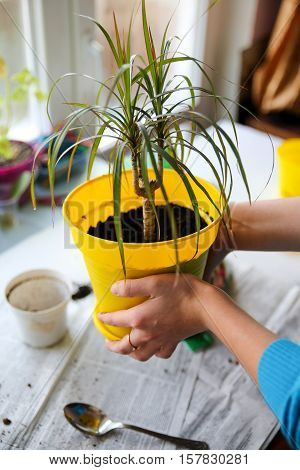 Transplanting potted plants, palm tree with yellow pot
