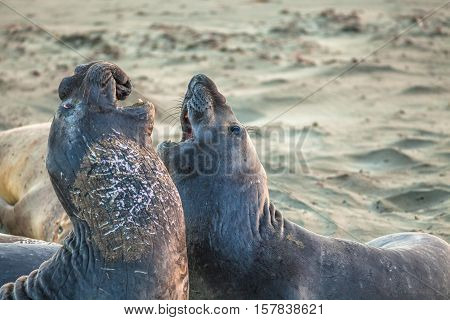 Two male Californian elephant seal, Cystophora proboscidea, fighting at Big Sur in Point Piedras Blancas, San Simeon, California, United States.
