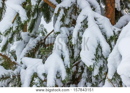 Coniferous pine branches in the snow. More snow than usual fell in one night.