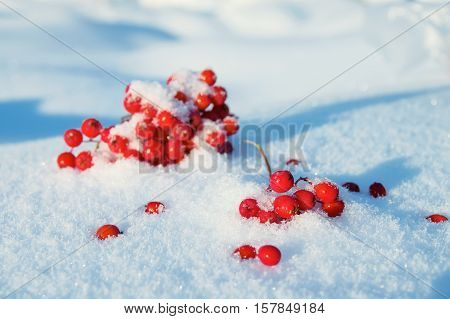 Berries of red mountain ash in snow