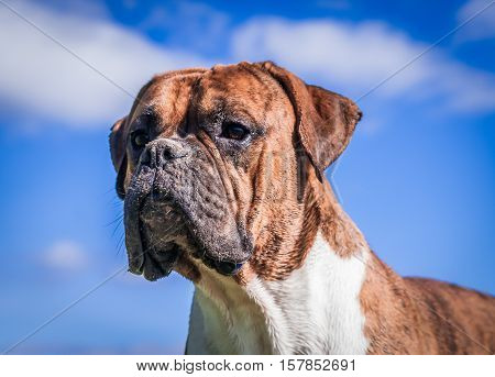dog breed boxer, male, boy, age one year,portrait on background blue sky,dirty face in sand, intelligent, wise and focused look, looks great, glistening in sun, white hairs on neck, long ears, brown