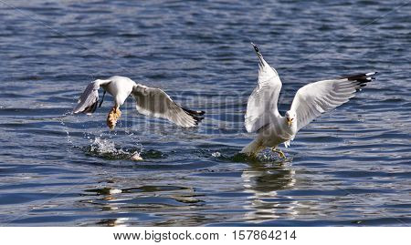 Beautiful Isolated Photo Of Two Gulls With The Food