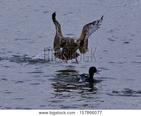 Isolated Image Of A Scared Funny Duck Under Attack Of A  Gull