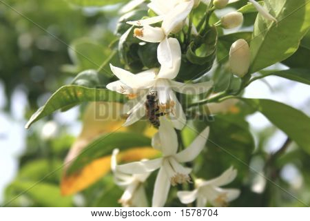 Bee On An Orange Blossom