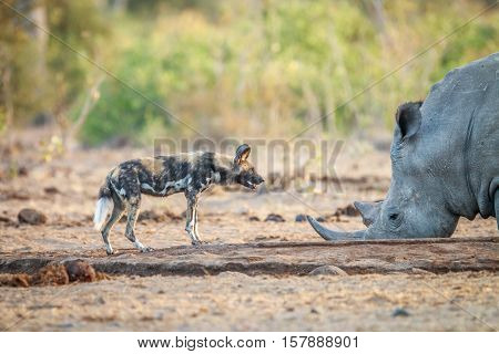 African Wild Dog And A White Rhino At A Waterhole.