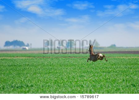 roebuck jumping over green wheat field