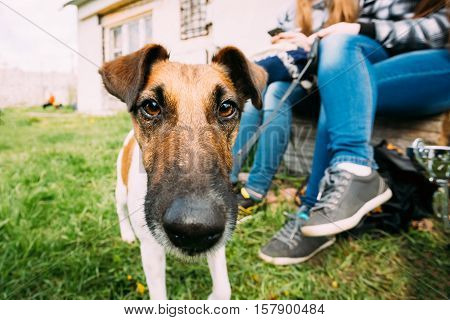 Close Up Of Jack Russel Terrier Dog Standing Near Woman Feet In Green Grass, In Park Outdoor. Photo Shot On The Wide-angle Lens.